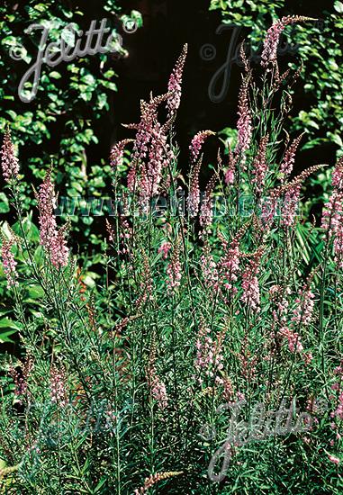 LINARIA purpurea  'Canon Went' Seeds