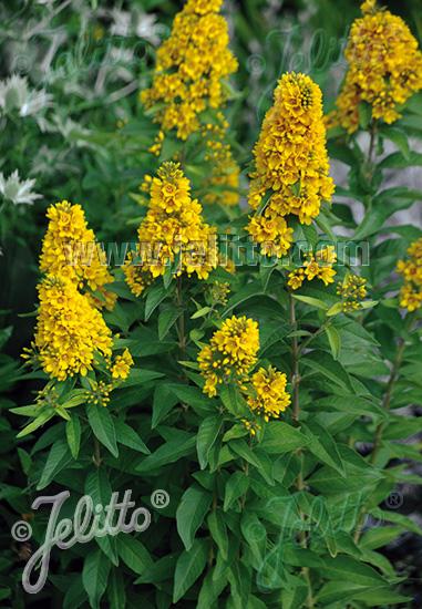 LYSIMACHIA vulgaris   Seeds