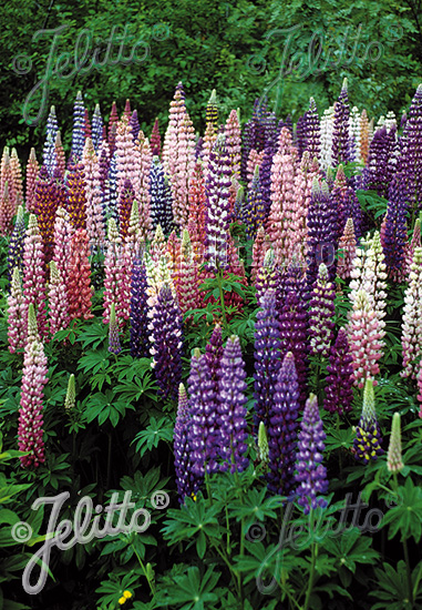 LUPINUS Perennis-Hybr. Russell 'Russellmischung' Portion(en)