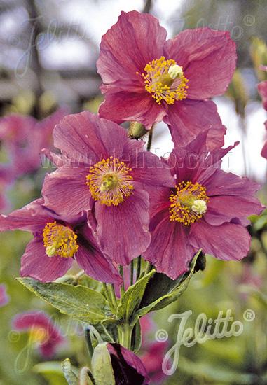 MECONOPSIS betonicifolia  'Hensol Violet' Portion(s)
