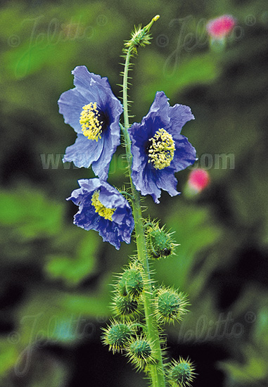 MECONOPSIS horridula   Portion(en)
