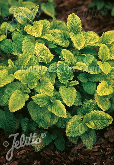 MELISSA officinalis  'Gold Leaf' Portion(s)