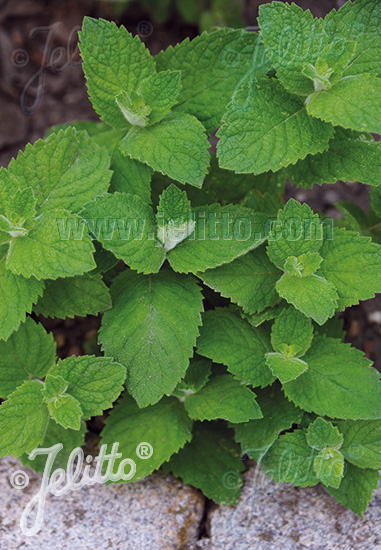 MENTHA suaveolens   Portion(s)