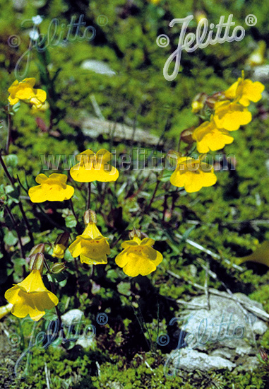 MIMULUS tilingii   Portion(s)