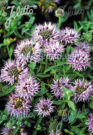 MONARDELLA odoratissima   Portion(s)