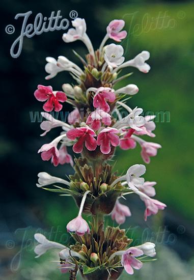 MORINA longifolia   Portion(s)