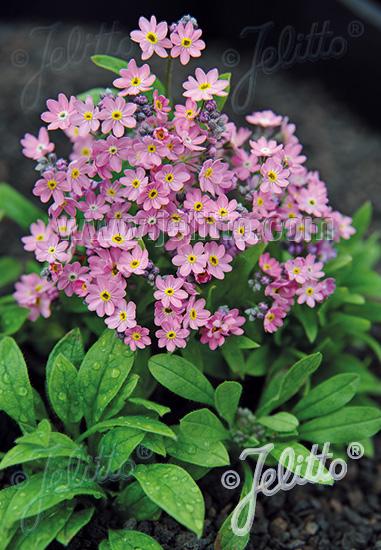MYOSOTIS sylvatica compacta Victoria-Series 'Victoria Pink' Portion(s)