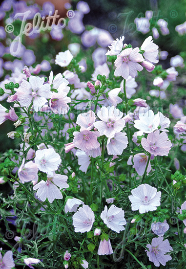 MALVA moschata  'Appleblossum' Seeds