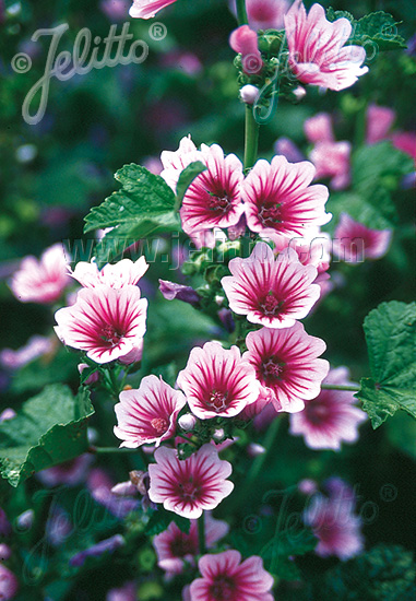 MALVA sylvestris  'Zebrina' Portion(en)