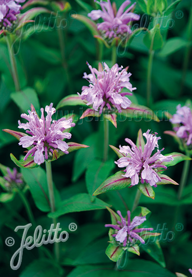 MONARDA fistulosa   Portion(s)