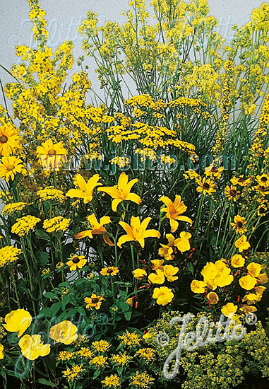 Perennial Mix yellow colors, high, 80-140 cm Portion(s)