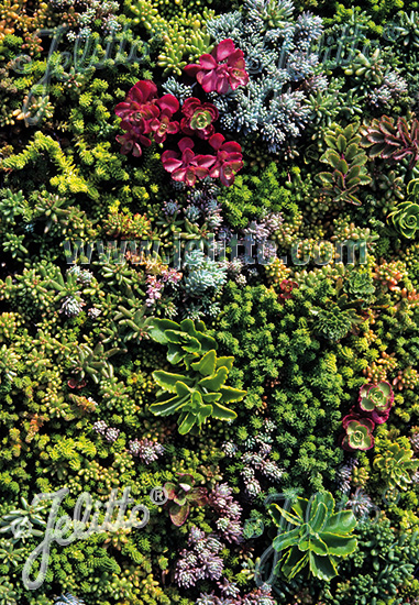 SEDUM mix England-South Scandinavia Portion(s)