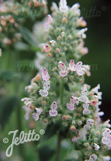 NEPETA cataria ssp. citriodora   Portion(s)