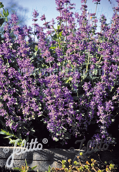 NEPETA racemosa  'Select' Portion(s)