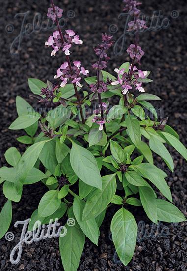 OCIMUM basilicum var. thyrsiflorum  'Thai' Portion(s)