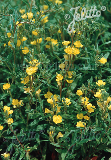 OENOTHERA perennis   Portion(s)