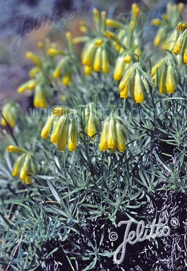 ONOSMA polyphyllum   Portion(s)