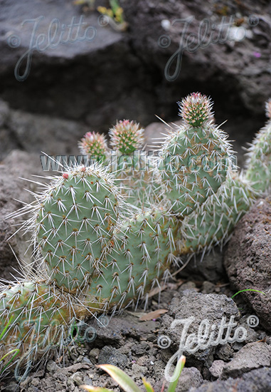 OPUNTIA polyacantha   Portion(s)