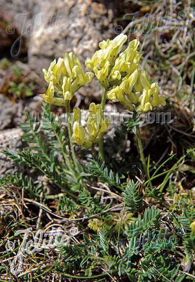 OXYTROPIS campestris   Portion(s)