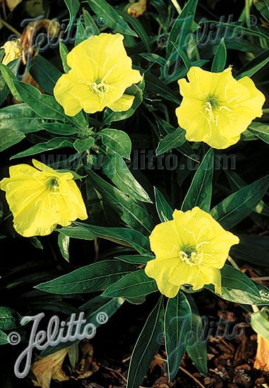 OENOTHERA macrocarpa   Seeds