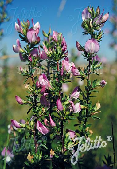 ONONIS spinosa   Seeds