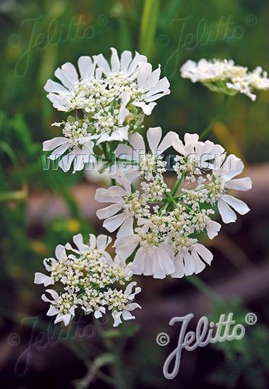ORLAYA grandiflora   Portion(s)