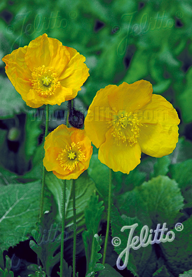 PAPAVER Nudicaule-Hybr. Champagne Bubbles F1-Series 'Champagne Bubbles F1 Yellow' Portion(s)