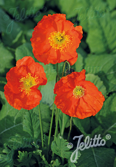 PAPAVER Nudicaule-Hybr. Champagne Bubbles F1-Serie 'Champagne Bubbles F1 Orange' Portion(en)