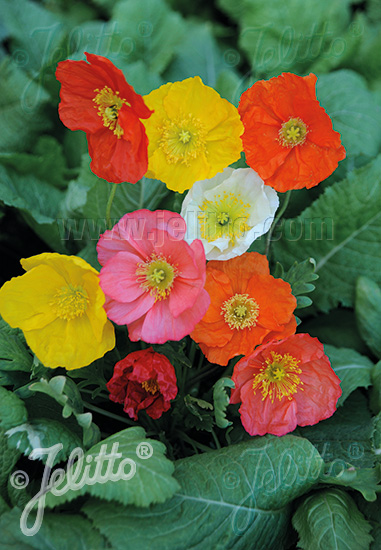 PAPAVER Nudicaule-Hybr.  Deluxe Mixture Portion(s)