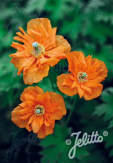 PAPAVER rupifragum  'Flore Pleno' Portion(s)