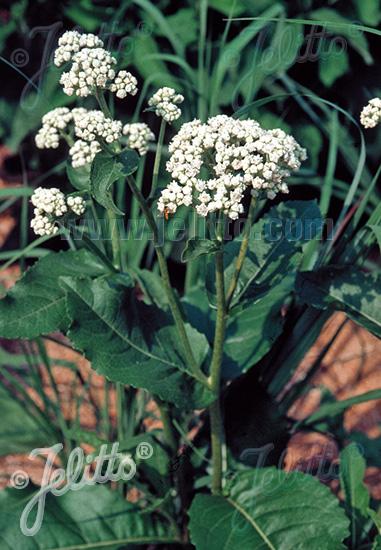 PARTHENIUM integrifolium   Portion(s)