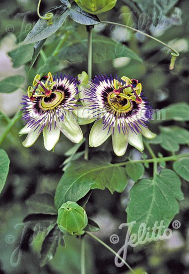 PASSIFLORA caerulea   Portion(s)