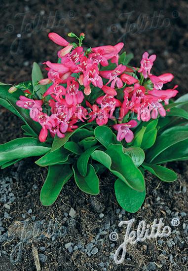PENSTEMON barbatus f. nanus Pinacolada-Series 'Pinacolada Rosy Red Shades' Portion(s)