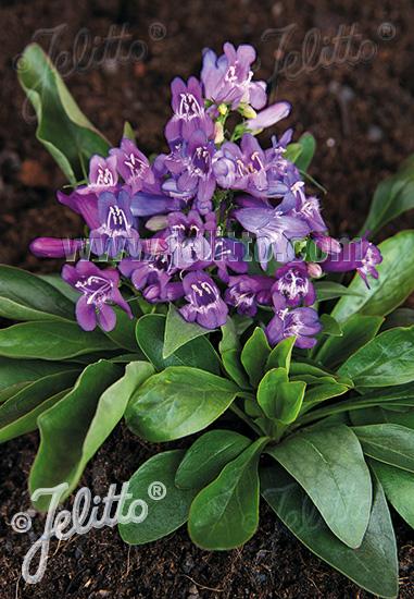 PENSTEMON barbatus f. nanus Pinacolada-Serie 'Pinacolada Violet Shades' Portion(en)