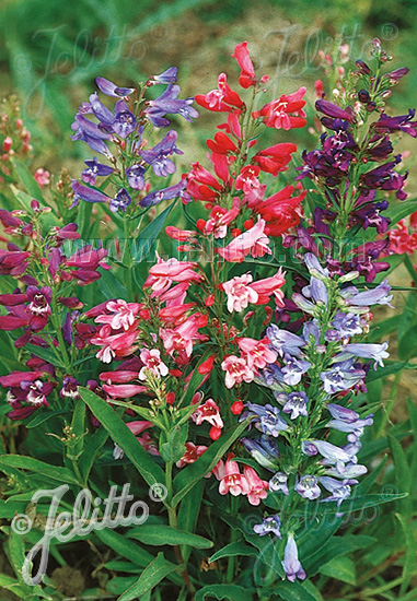 PENSTEMON barbatus var. praecox f. nanus  'Rondo' Portion(s)
