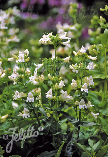 PENSTEMON serrulatus  'Albus' Portion(en)