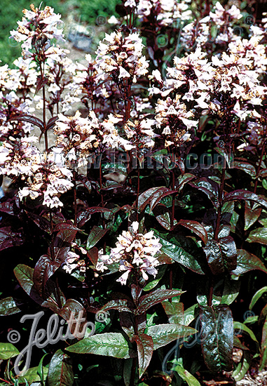 PENSTEMON digitalis  'Husker Red Strain' Portion(s)