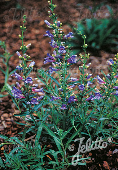 PENSTEMON heterophyllus  'Blue Springs' Portion(en)