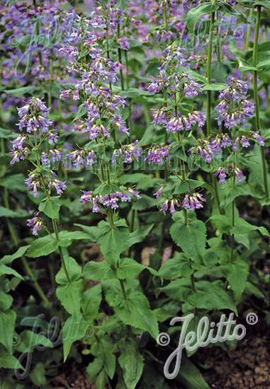 PENSTEMON ovatus   Portion(s)