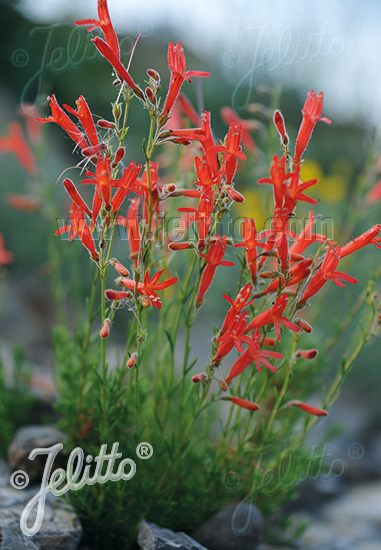 PENSTEMON pinifolius   Portion(s)