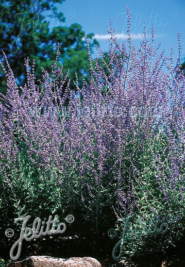 PEROVSKIA atriplicifolia   Portion(s)