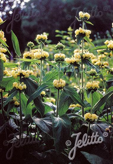 PHLOMIS russeliana   Portion(s)