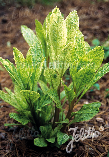 PHYTOLACCA americana f. variegata  'Silberstein' Portion(s)