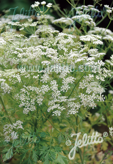 PIMPINELLA anisum   Portion(s)