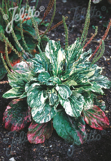 PLANTAGO major  'Variegata' Portion(s)