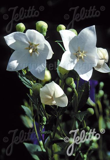 PLATYCODON grandiflorus  'Fuji White' Portion(s)