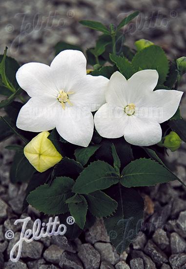 PLATYCODON grandiflorus F1-Hybr. Astra-Series 'Astra White' Portion(s)