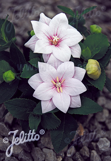 PLATYCODON grandiflorus F1-Hybr. Astra-Series 'Astra Pink-semi-double Portion(s)