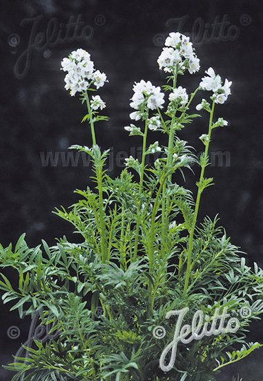 POLEMONIUM caeruleum  'Filigree Clouds' Portion(en)