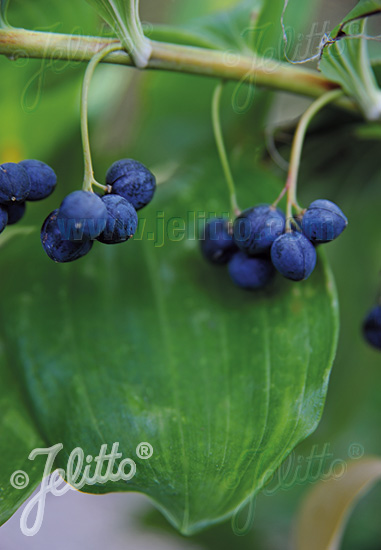 POLYGONATUM latifolium   Portion(s)